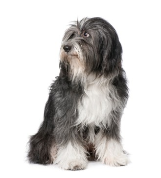 Image for the dog diseases page - long haired terrier