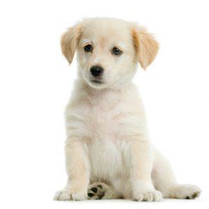 Bichon maltais puppy